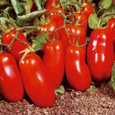 Друг начинающего садовода — томат «челнок»: описание и характеристика сорта, особенности выращивания