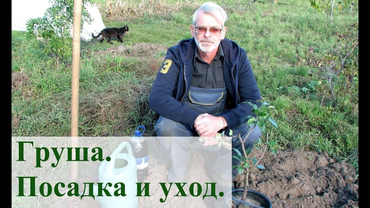 Черешня - посадка и уход в средней полосе россии