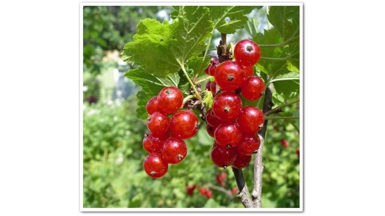 Смородина красная ненаглядная — ягоды грибы