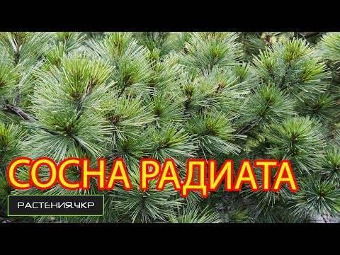 Японская белая сосна (pinus parviflora)