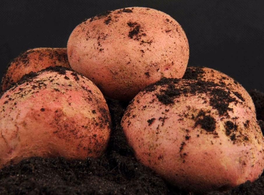 «журавушка» — картофель высокого урожая: описание сорта, характеристика, фото