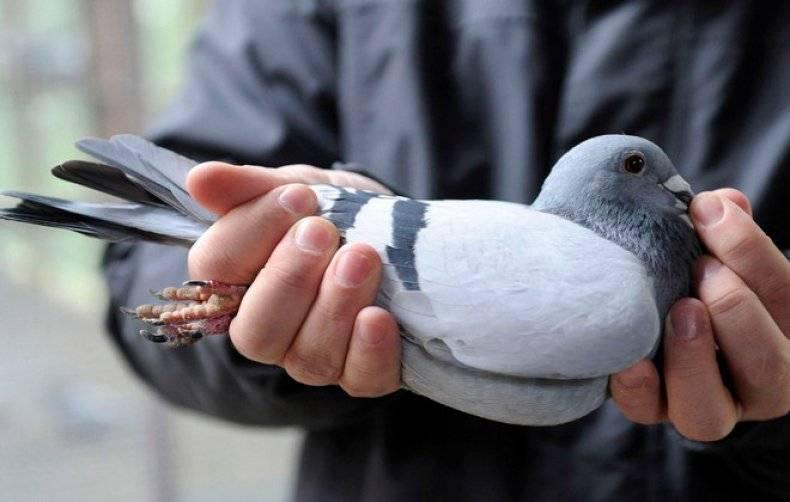 Болезни голубей: их симптомы и лечение