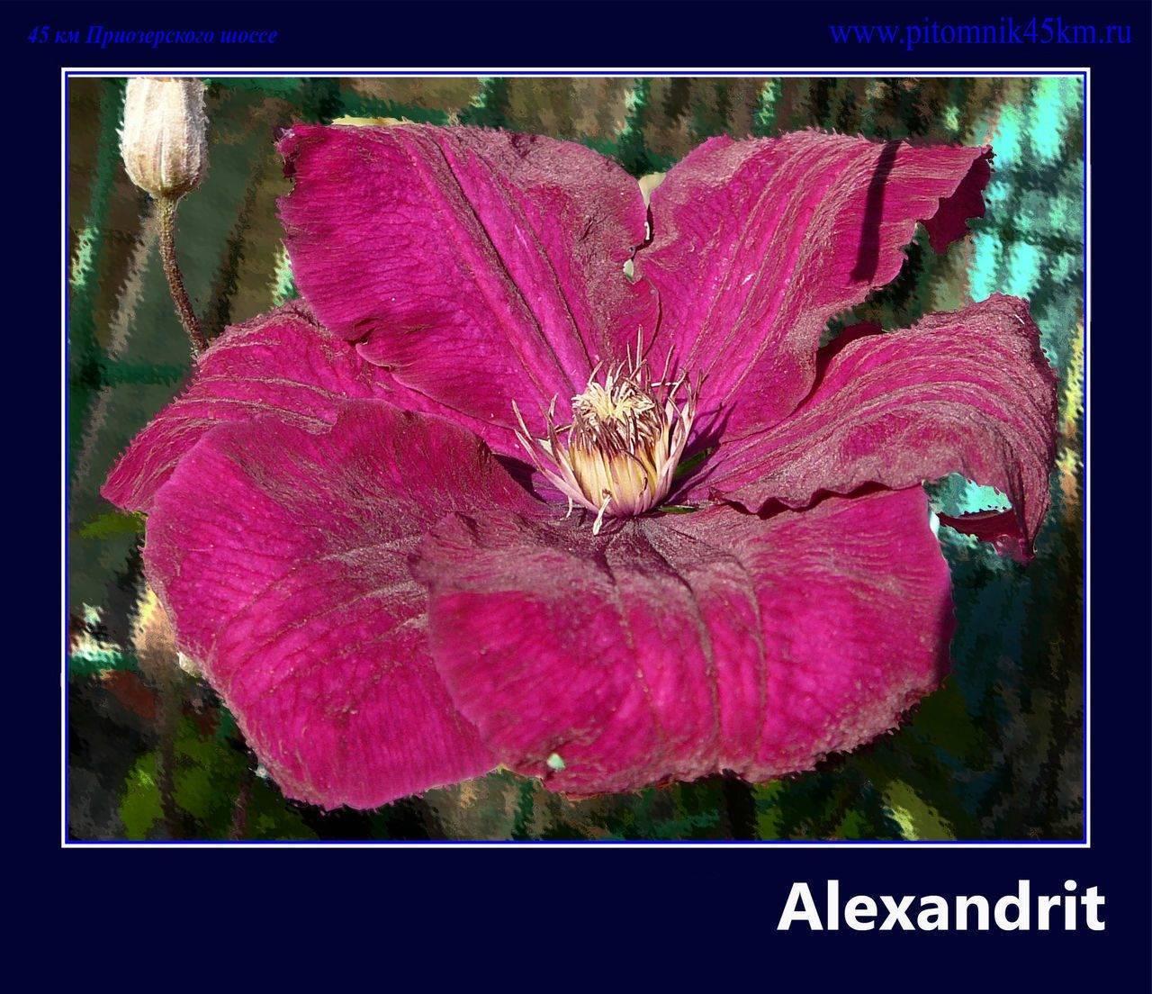 Обильноцветущие лианы на вашем участке — клематисы первой группы обрезки с фото и кратким описанием