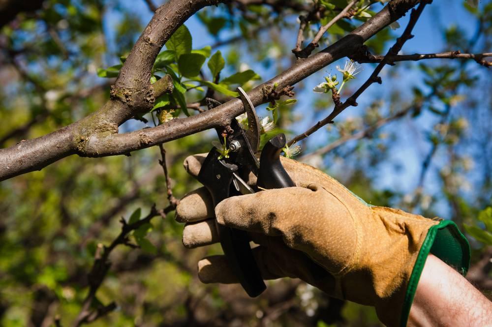 Коккомикоз вишни: меры борьбы и профилактики, обработка, опрыскивания