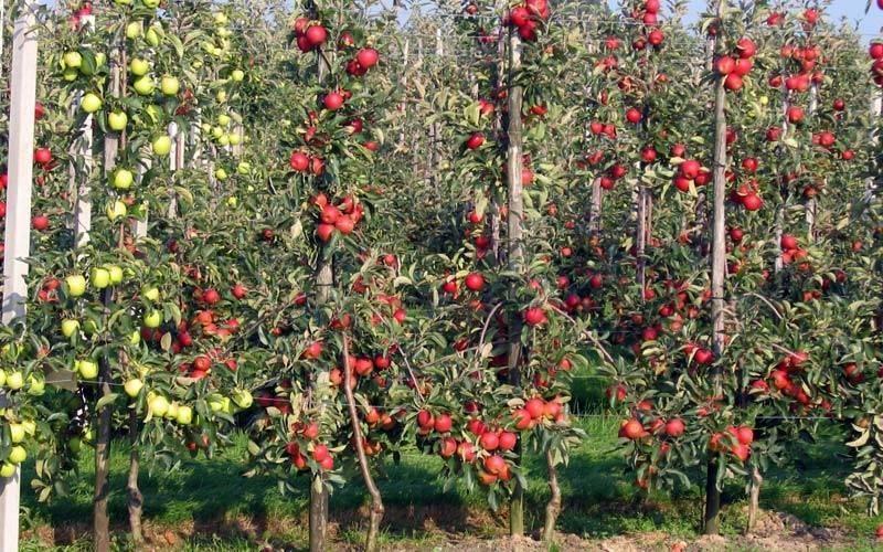 Как обрезать колоновидную яблоню осенью: инструкция для начинающих