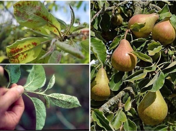 Болезнь парша: лечение и профилактика, фото, как бороться на яблоне, груше, средства и препараты