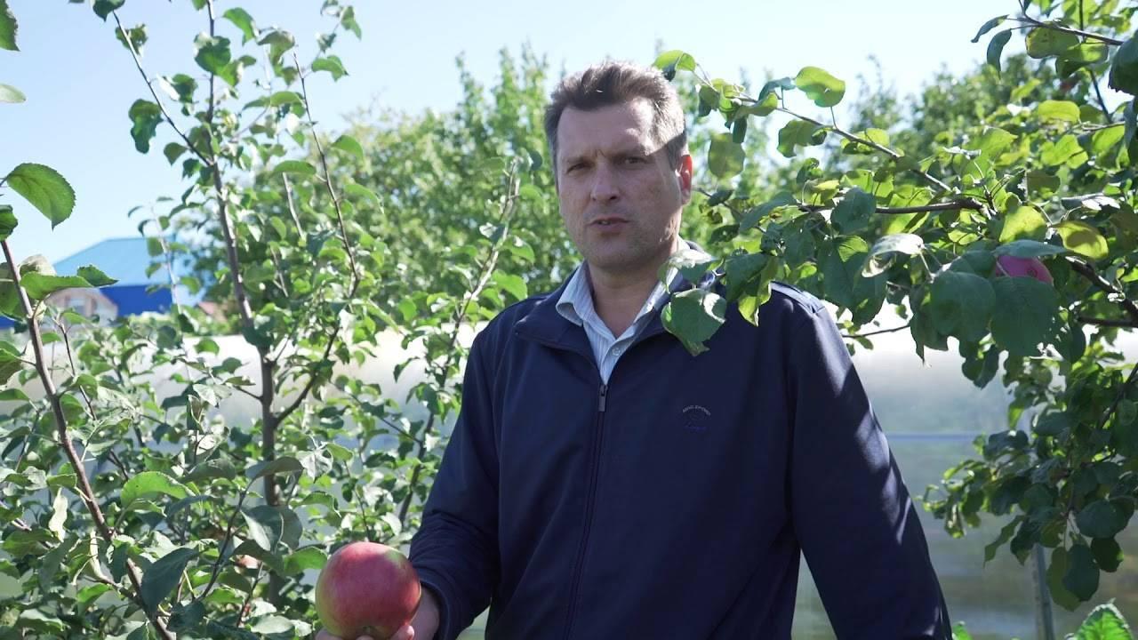 Перспективная сладкая яблоня детское