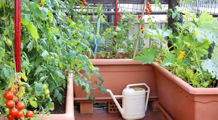 Как посадить и вырастить дыню в открытом грунте?