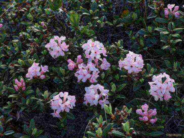 Описание листопадного сорта рододендронов: как правильно сажать и ухаживать