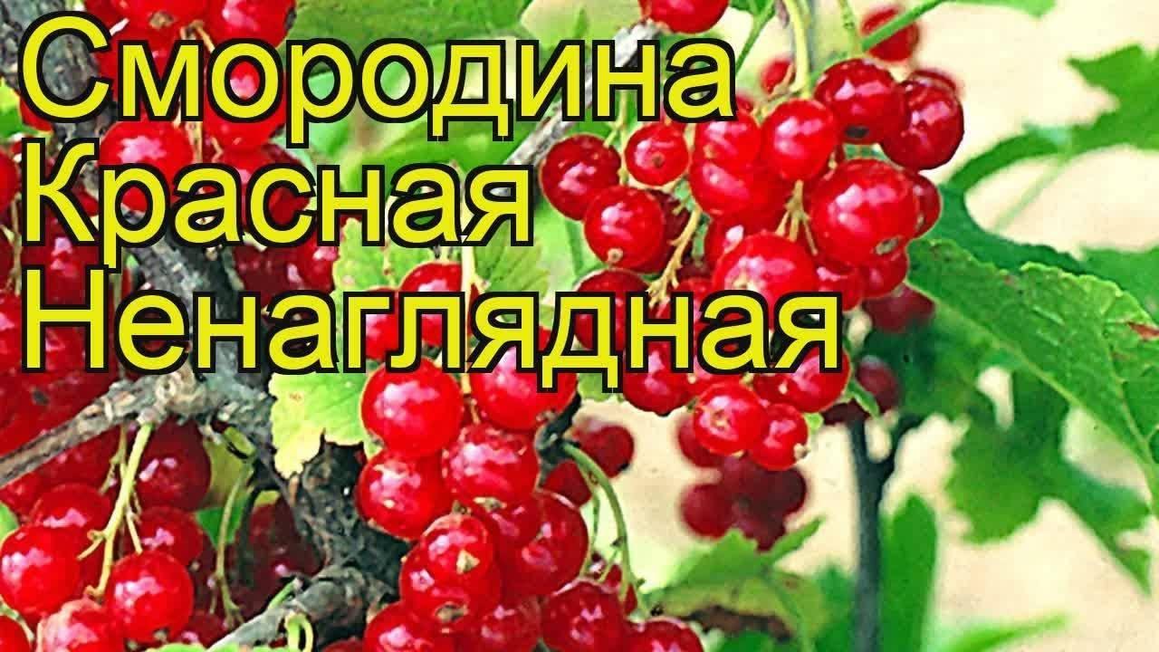 Смородина красная ненаглядная