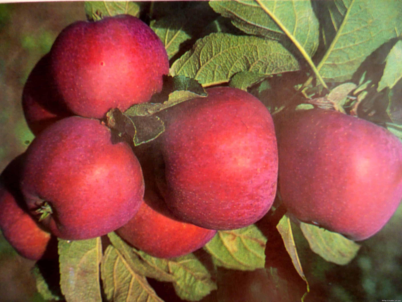 Яблоня малиновка (суйслепское): описание сорта и фото, характеристики и особенности