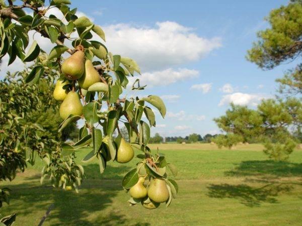 Подкормка груши - чем подкармливать весной, летом и осенью