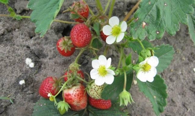 Клубника викода: описание сорта и 5 особенностей выращивания