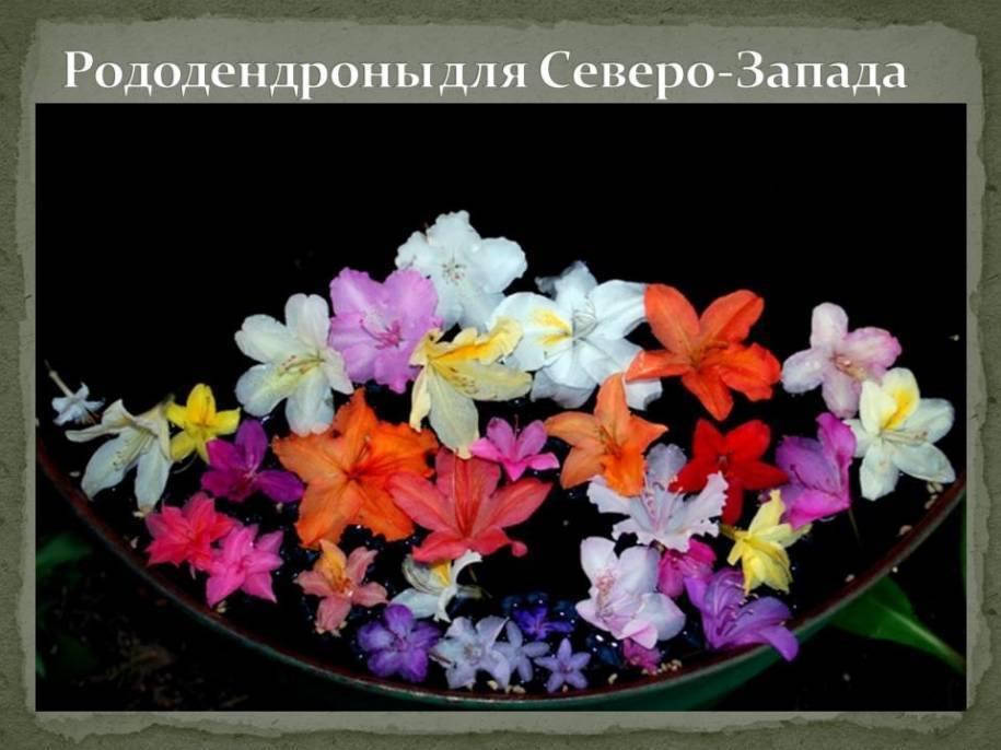 Цветок рододендрон: посадка и уход в открытом грунте, фото, выращивание и сорта