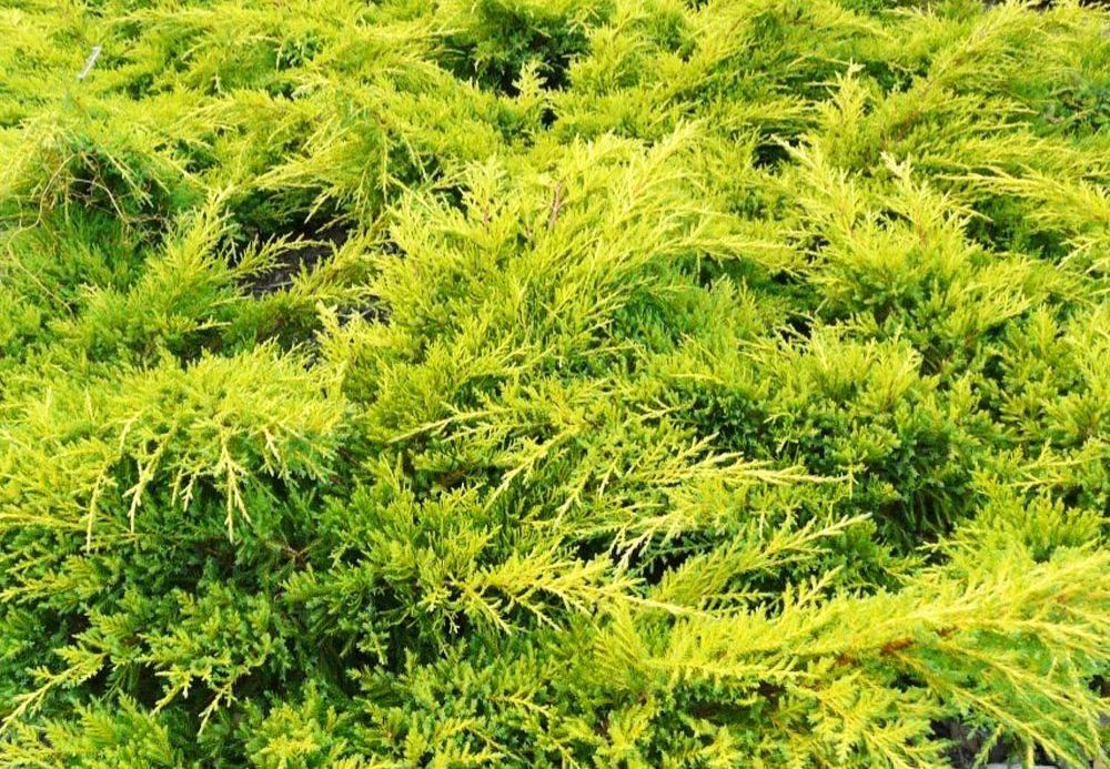 Можжевельник средний голд стар: описание и фото в ландшафтном дизайне сада