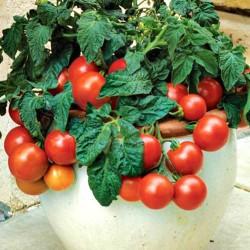 Лучшие сорта черных томатов с фото и описанием