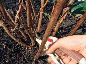 Как размножить гортензию черенками – пошаговая инструкция для новичков
