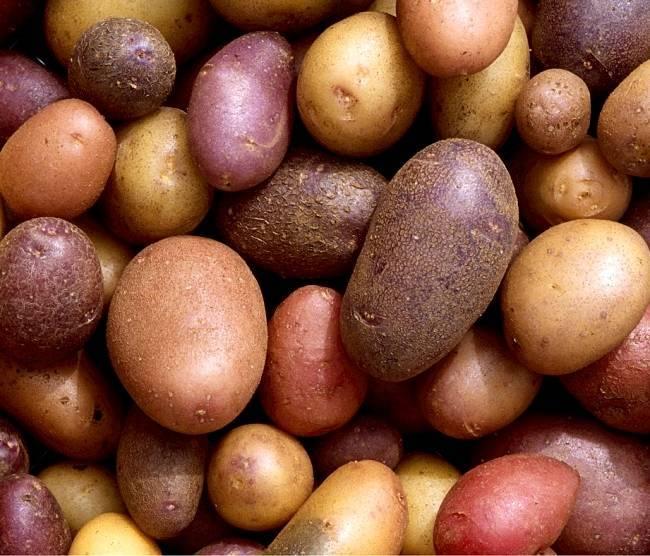 Лучшие сорта картофеля, особенности посадки и ухода