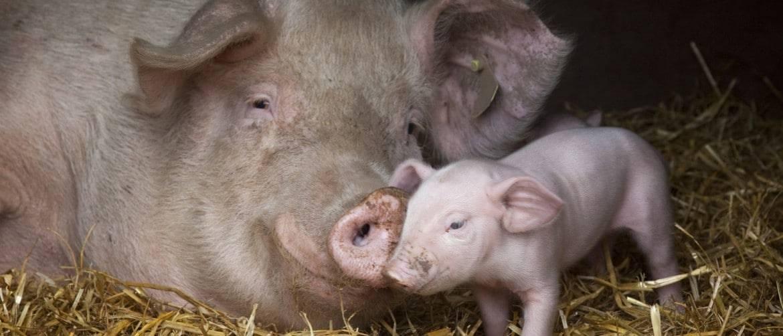 Как самостоятельно узнать супоросная свинья или нет