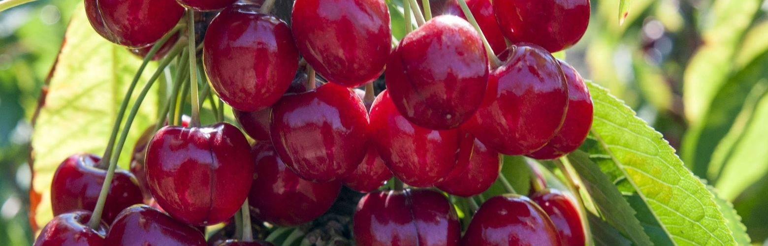 О черешне любимица астахова: описание и характеристики сорта, посадка, уход