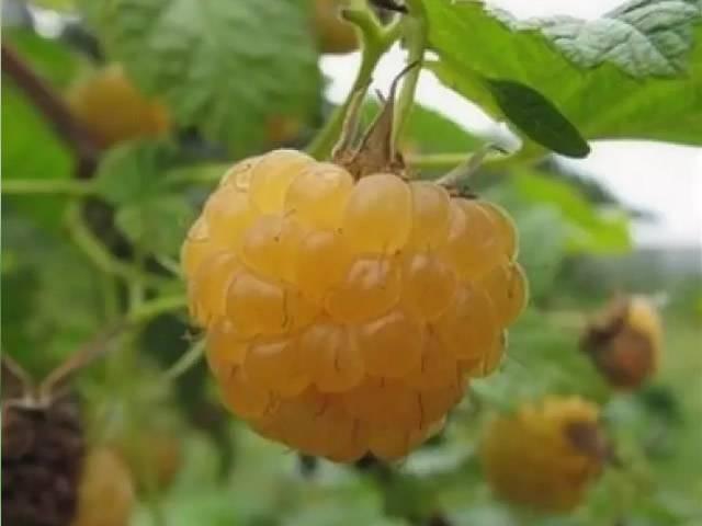 Малина сорта оранжевое чудо: характерные особенности, агротехника