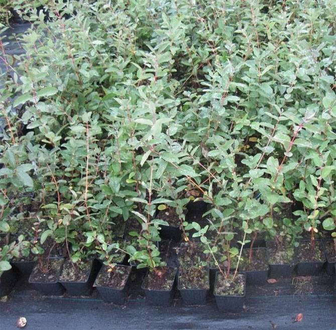 Жимолость камчатская синеглазка: характеристика и особенности выращивания