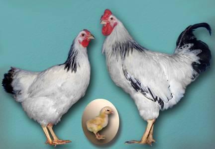 Одна из самых популярных в россии - первомайская порода кур