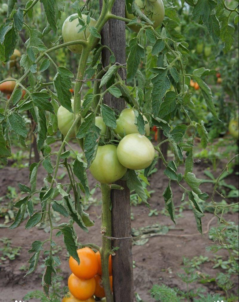 Фото, отзывы, описание, характеристика, урожайность сорта помидора «апельсин»