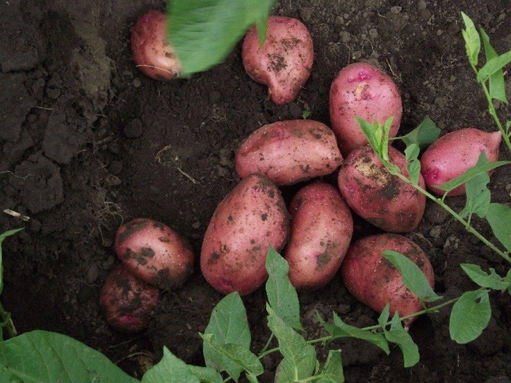 Картофель велина: характеристика сорта, преимущества, особенности выращивания в ростовской области, отзывы огородников