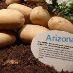 Картофель аризона описание сорта, фото, отзывы