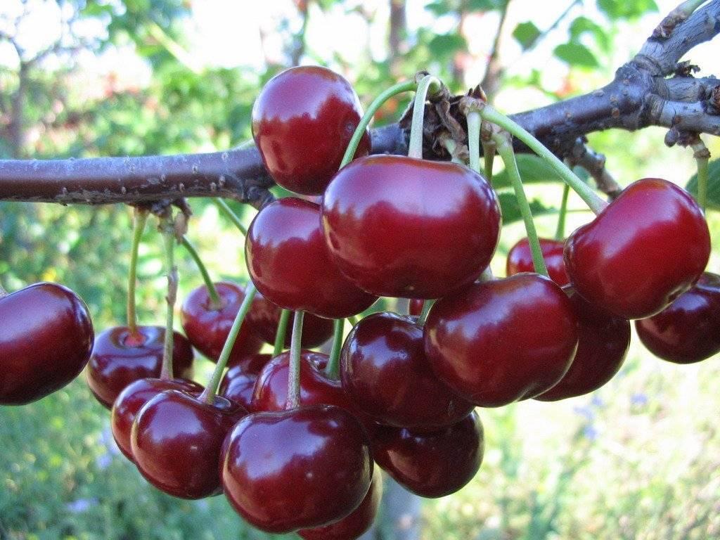 Выращивание и уход за черешней сорта россошанская золотая