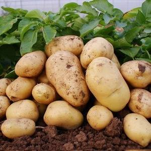 Характеристика сорта картофеля лабадия – подходящие регионы для выращивания