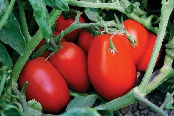 Сибирская тройка - компактный урожайный сорт томата, основные характеристики и отзывы