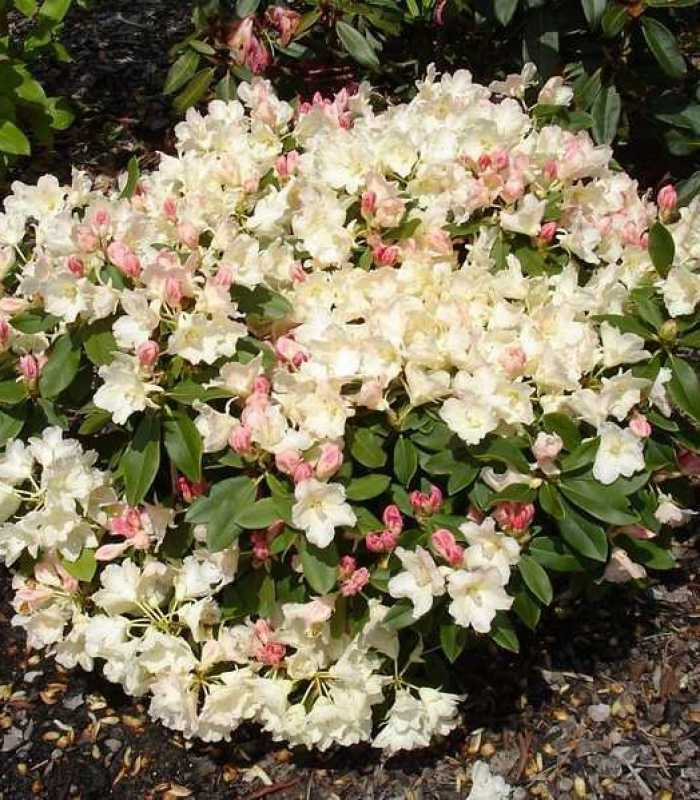Сорти рододендрона якушиманского: опис, вирощування