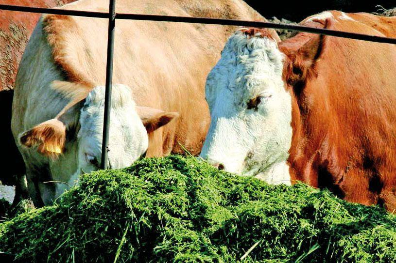 Как составить рацион коровы на день?