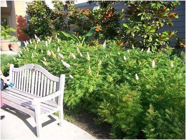Рябинник — кустарник с листьями как у рябины