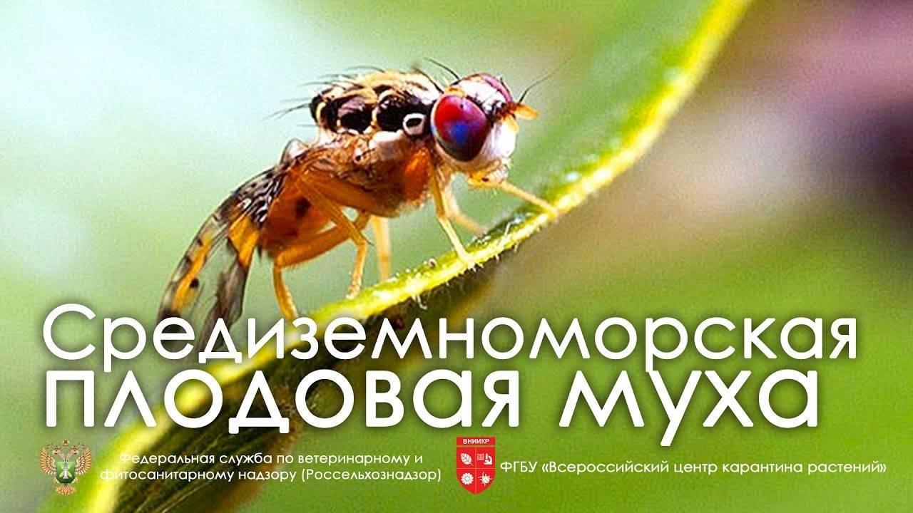 Спасаем посадки малины от малинной стеблевой мухи