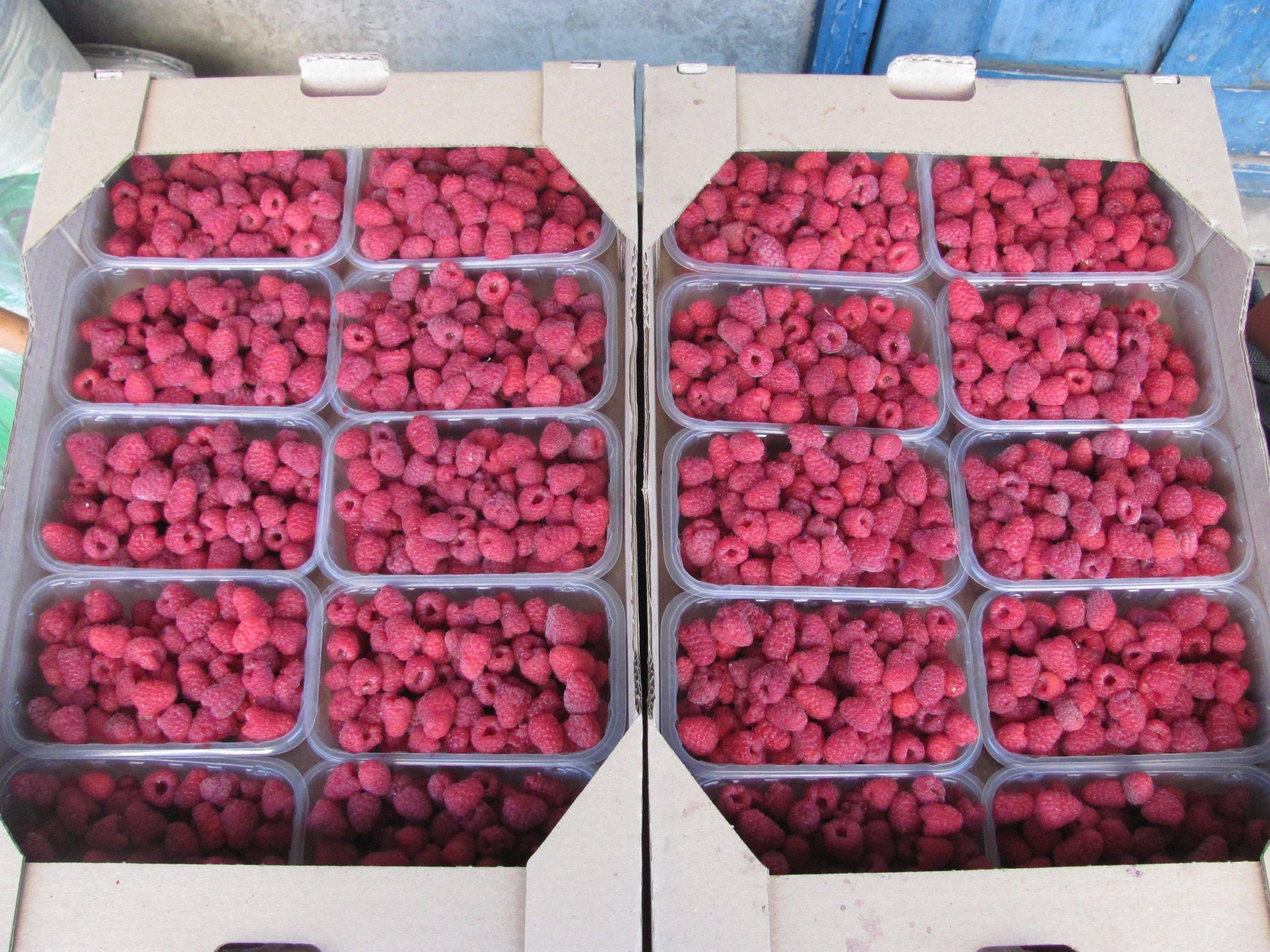 Сорт малины джоан джей — ремонтантный англичанин с крупными плодами