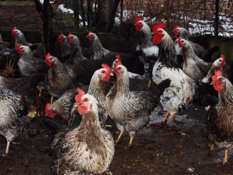 Котляревская порода кур: описание и фото, особенности выращивания и характеристики