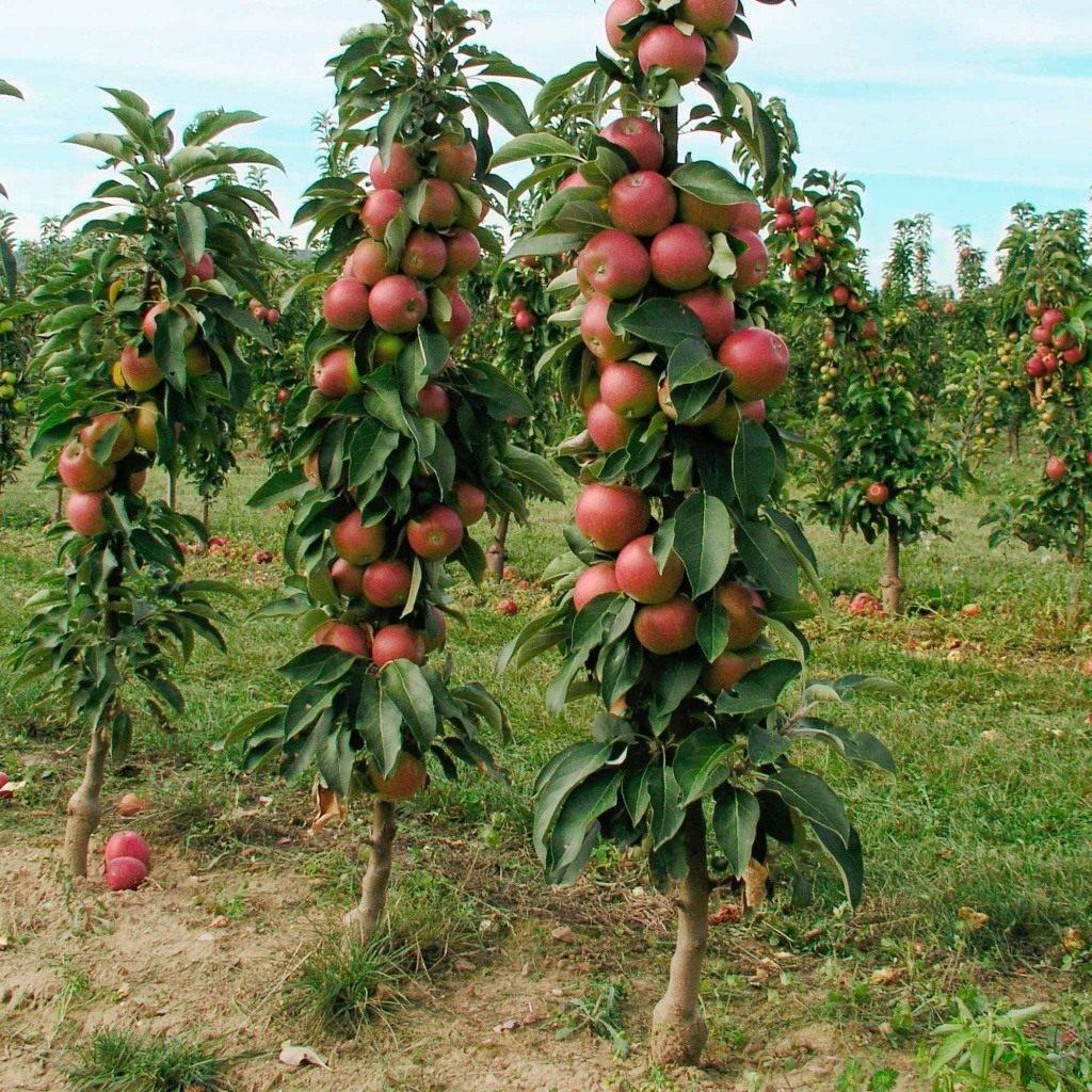 Названия и фото популярных карликовых деревьев для сада