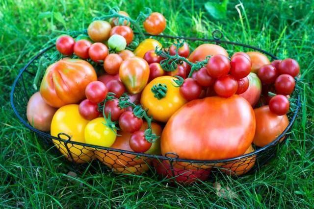 Медная проволока для помидор от фитофторы