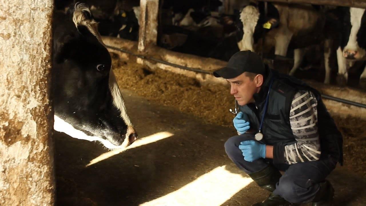 Бородавки на вымени у коровы: причины и лечение