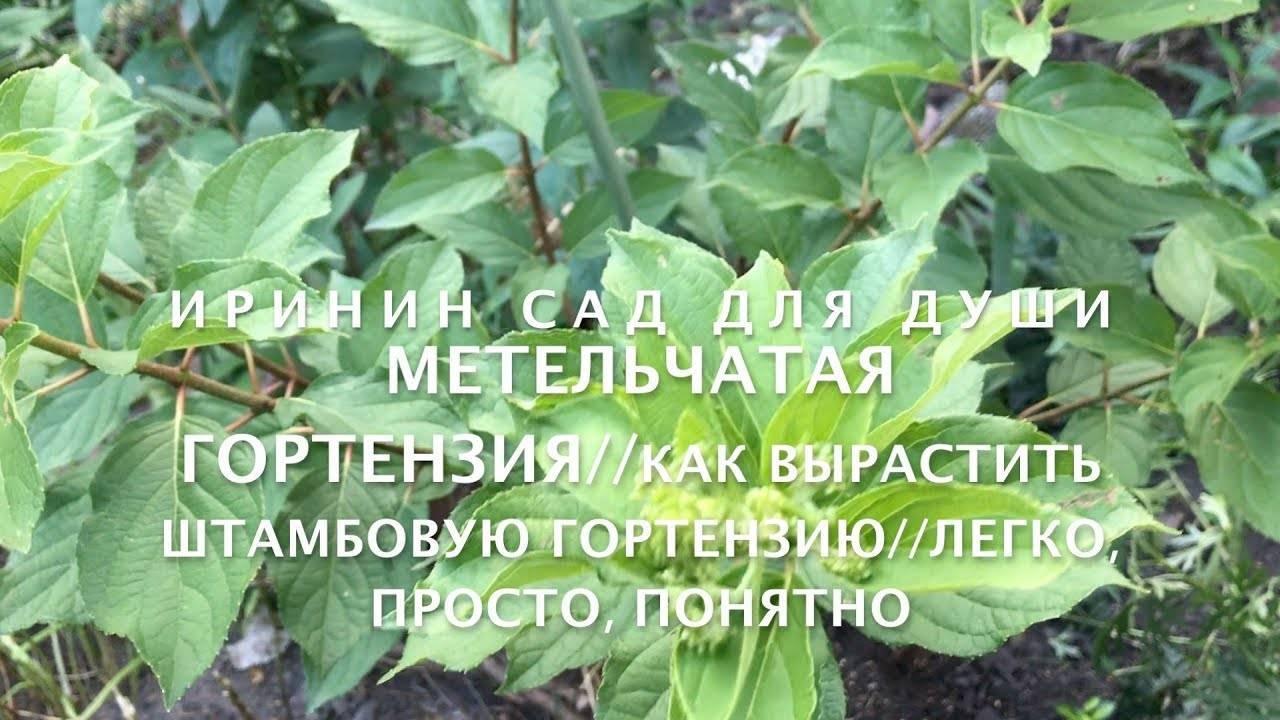 Описание, посадка и уход за гортензией травянистой
