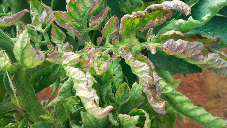 Как защитить помидоры от фитофторы в теплице