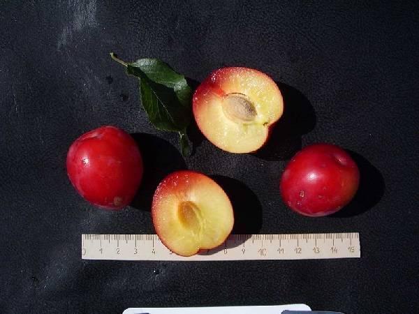 Слива июльская роза — описание сорта, фото, отзывы садоводов