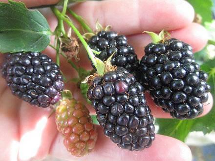 Особенности выращивания ежевики сорта бжезина (brzezina)
