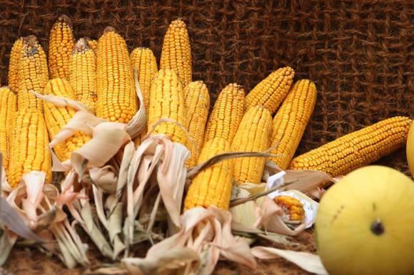 Сахарная кукуруза: описание вида, советы по уходу и разведению