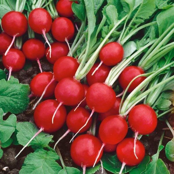 Обзор лучших сортов редиса для разных условий выращивания