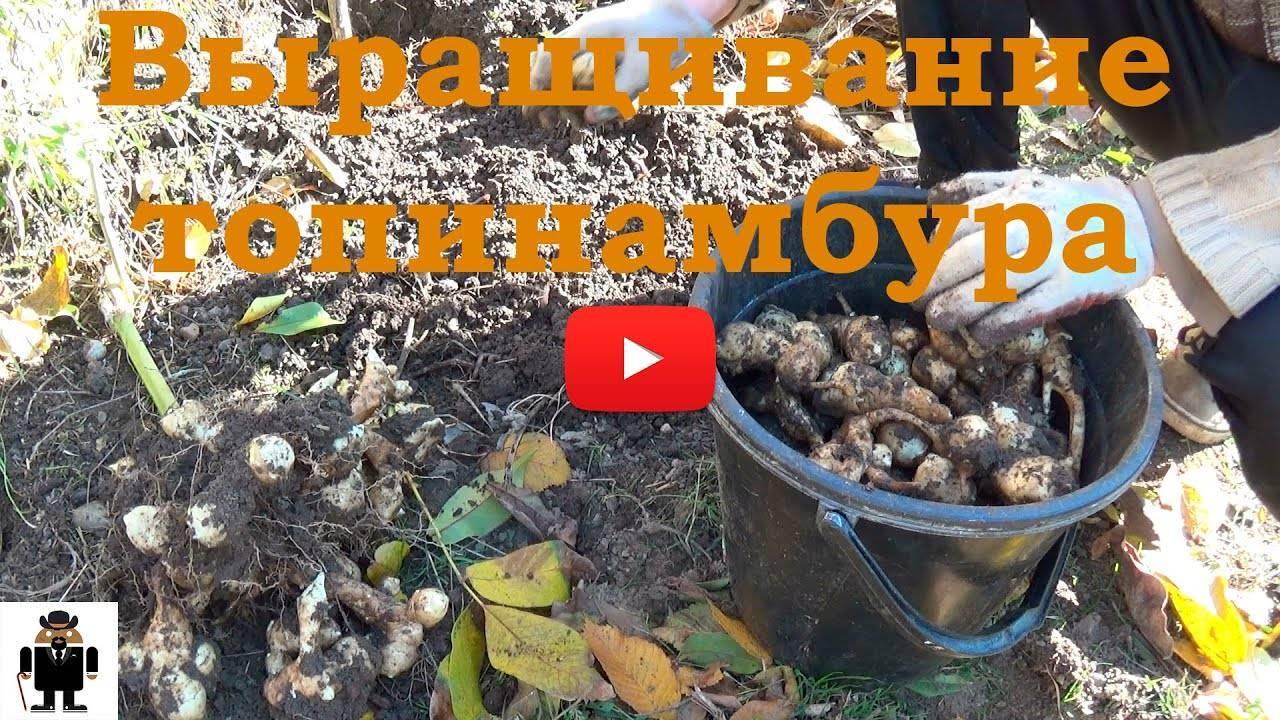 Растение топинамбур: посадка, уход и выращивание в открытом грунте, фото, вред и польза