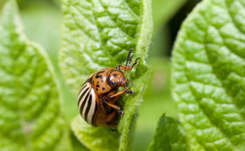 Как отвоевать урожай картофеля у колорадского жука и проволочника?